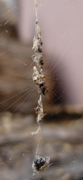 Cyclosa Conica in web