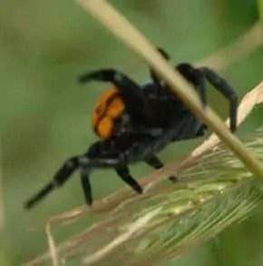 Female Ladybird Spider closeup