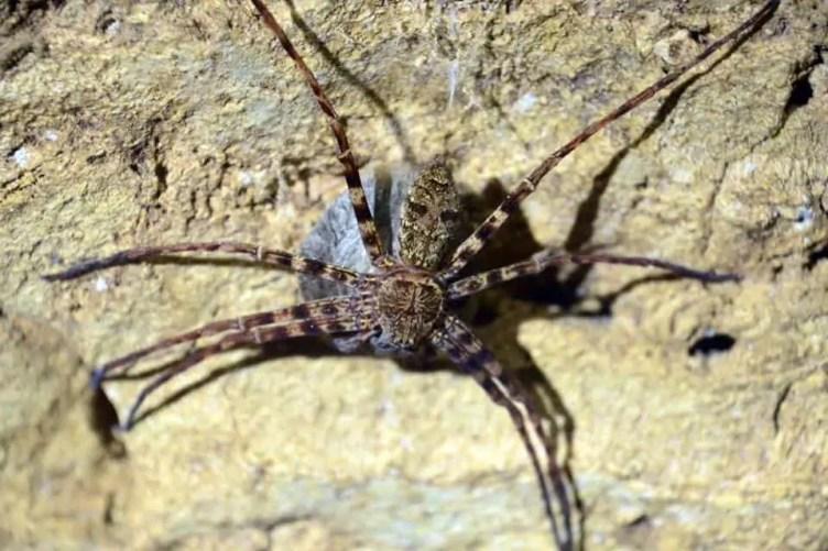 Huntsman Spider with egg sac