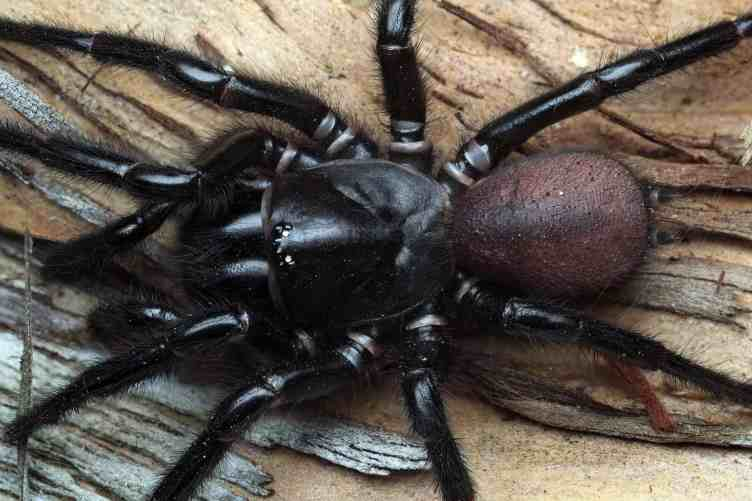 The Southern Tree-dwelling Funnel-web Sp