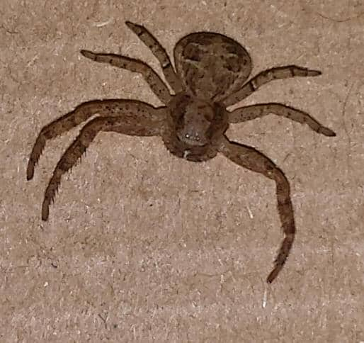 Brown Crab Spider
