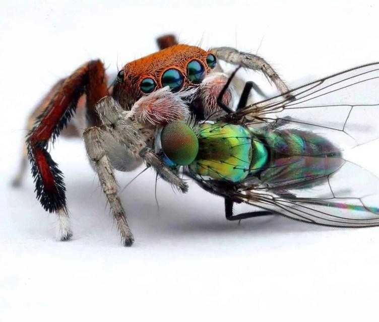Maratus pavonis feeding on a fly