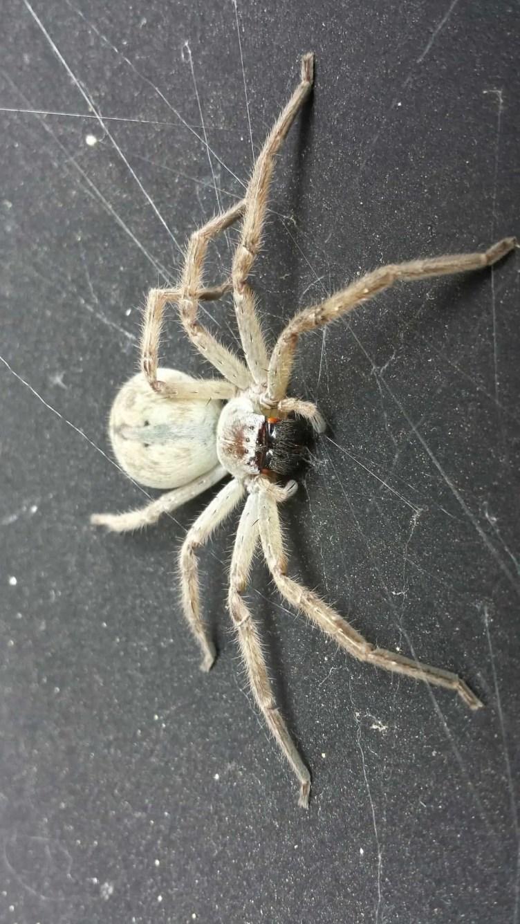 Badge Huntsman spider