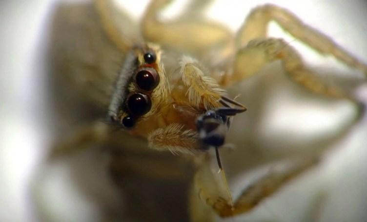 Jumpinger spider eyes closeup light brown