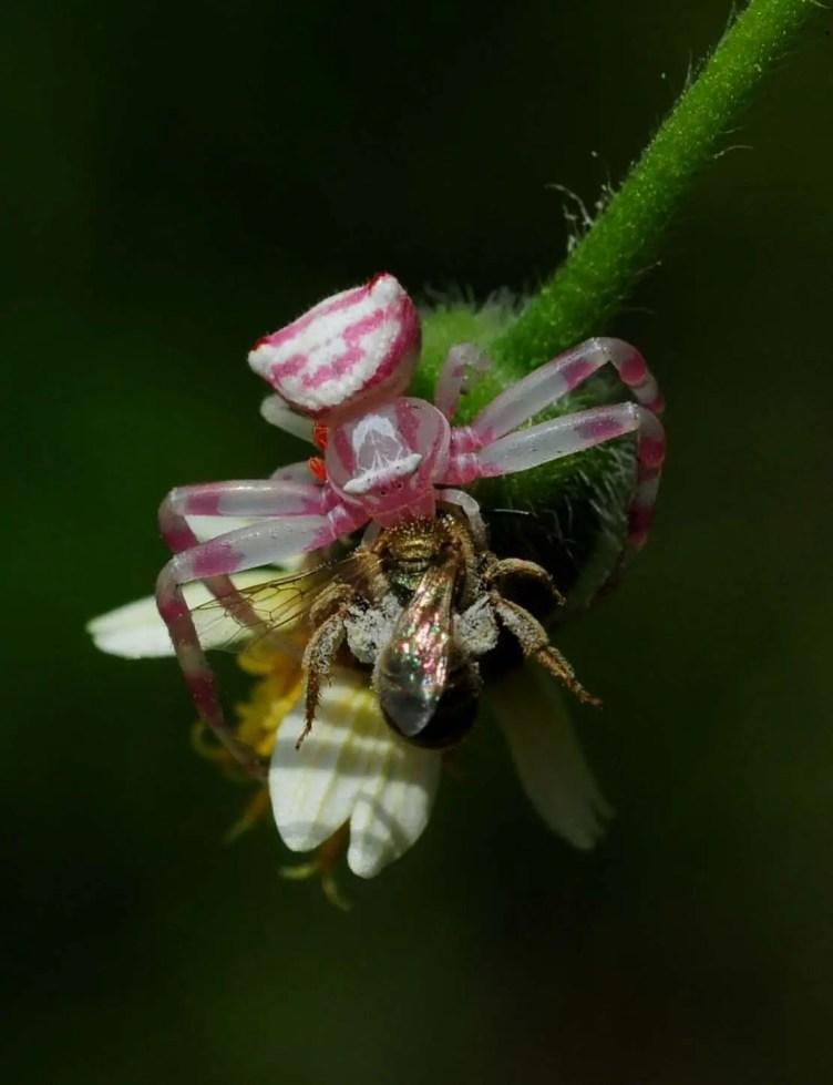Pink Crab Spider with prey