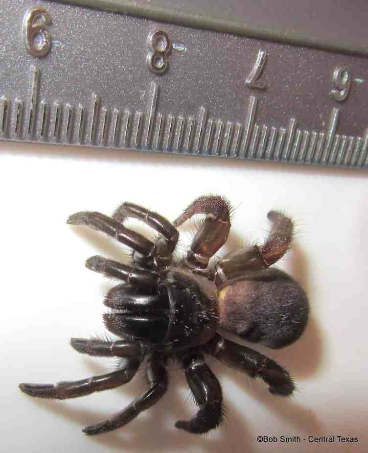 Mouse Spider australia size ruler