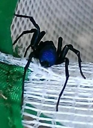 Abbot's Purseweb Spider