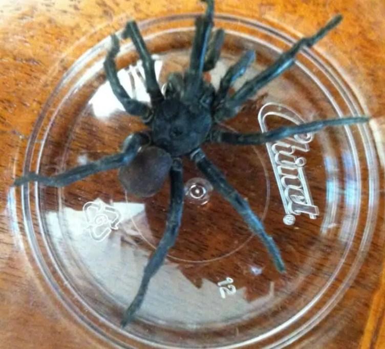 Black Trapdoor Spider size