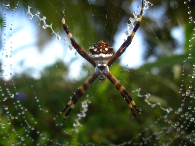 Silver Argiope in web orb shaped