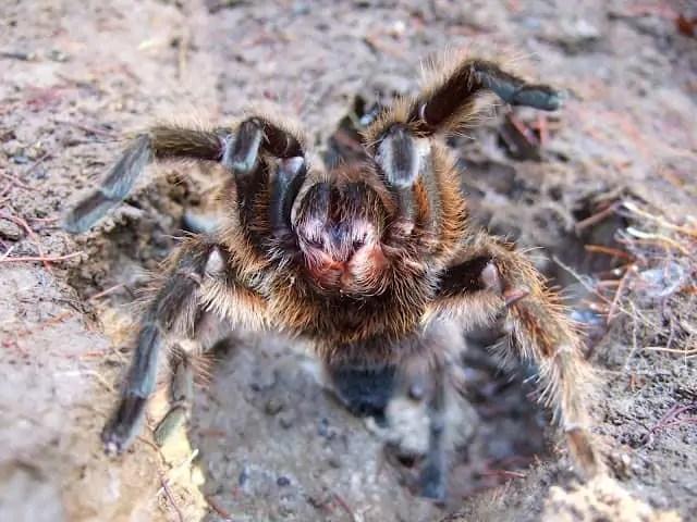 Trapdoor spider in burrow