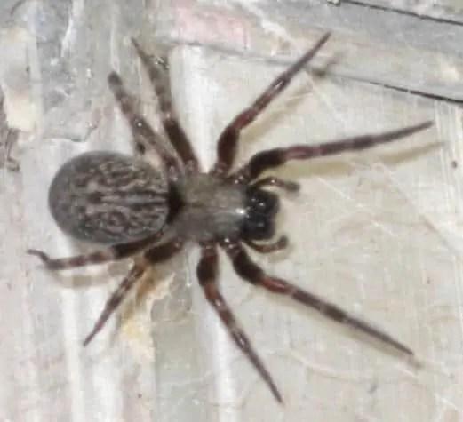 Black House Spider