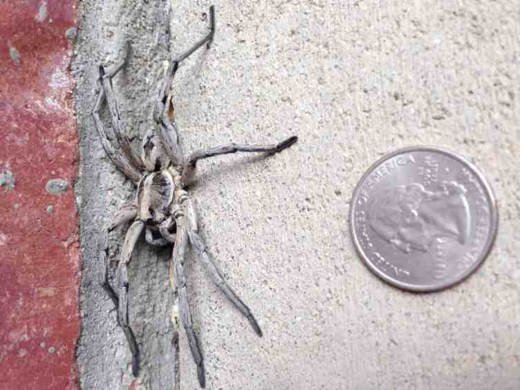 Carolina Wolf Spider size comparison with coin