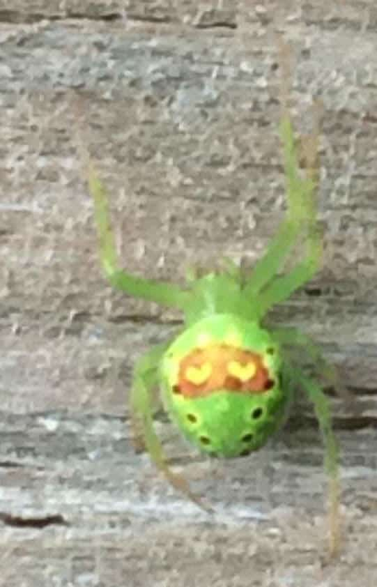 Araneus Cingulatus