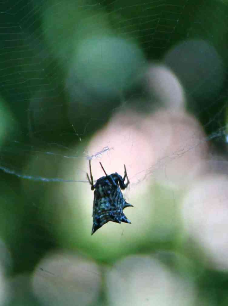 Spined Micrathena in web