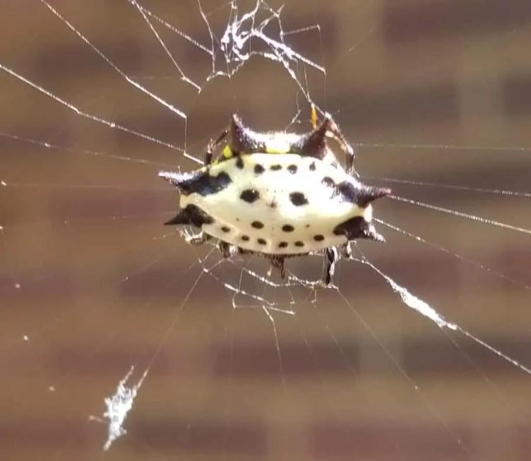Jewelled Spider