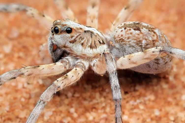 Wolf spider – Mungo National Park NSW Au closeup