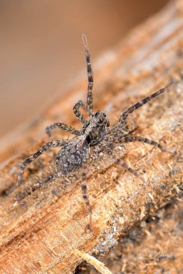 Thin-legged Wolf Spider waving by Kevin