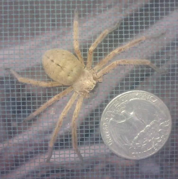 Huntsman Spider neosparassus size