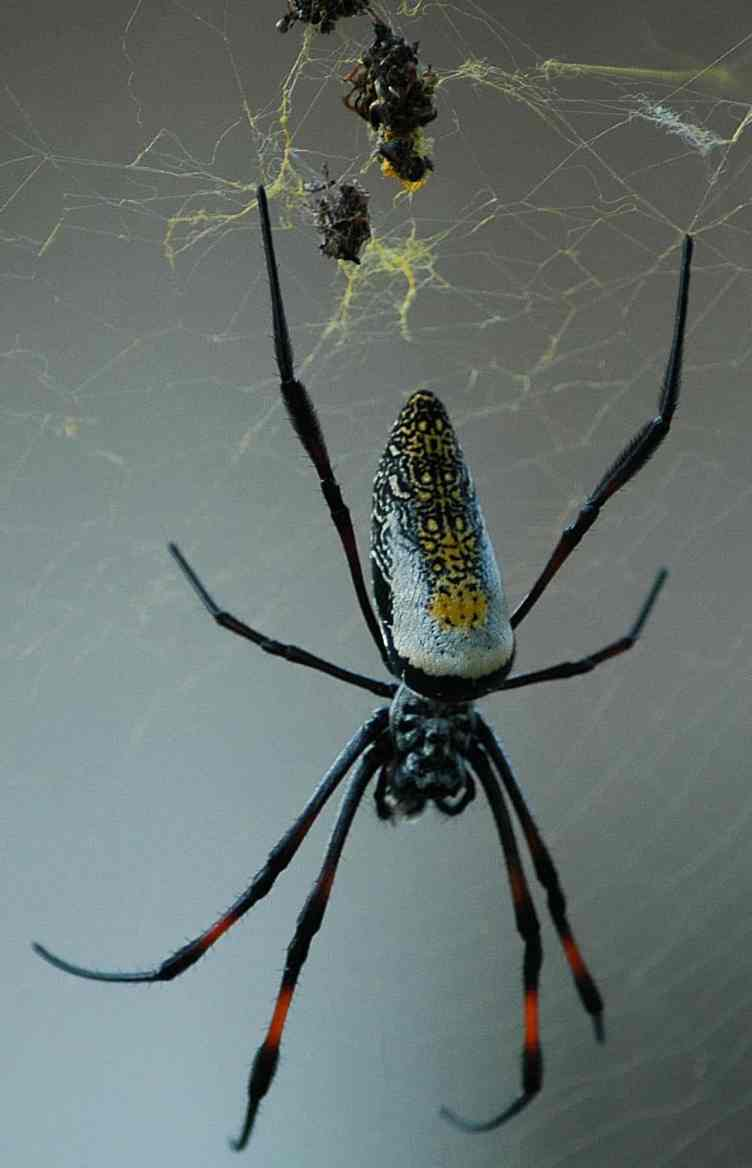 Nephila sp. Zanzibar