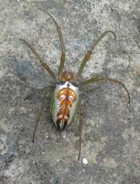 Festive Silver Marsh Spider on ground