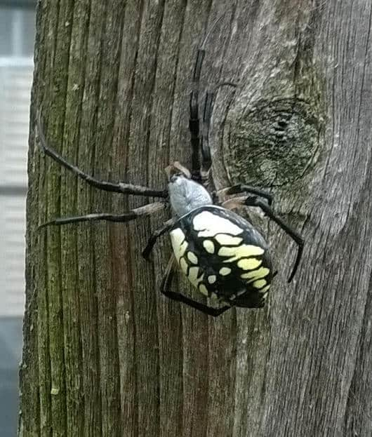 Black and Yellow Argiope ready to lay eg