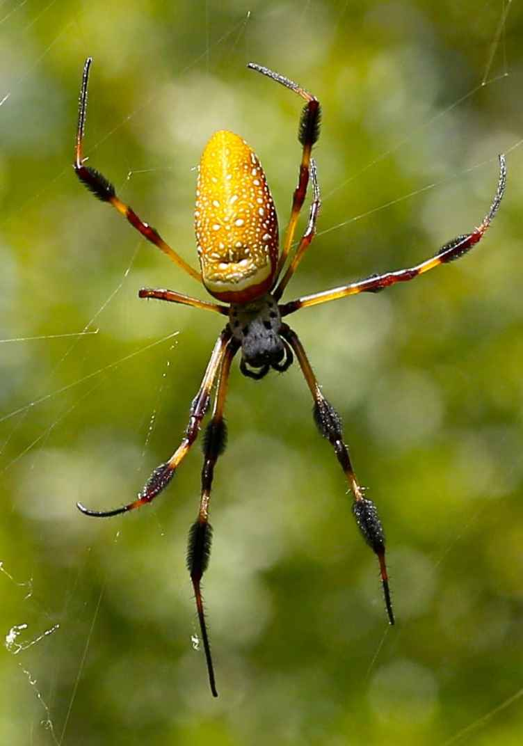 Nephila Clavipes USA yellow orange black
