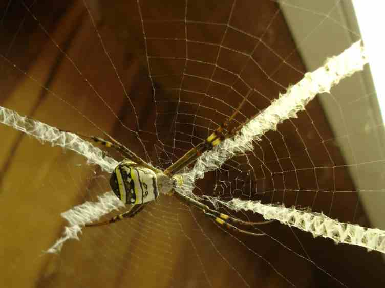 St Andrews Cross Spider Argiope mangal