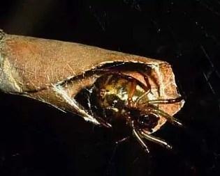 leaf curling spider Phonognatha graeffei closeup