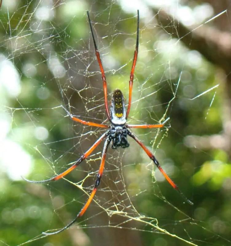 Nephila sp. Madagascar