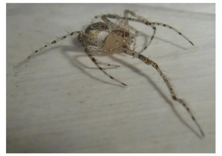 Pirate Spider photo