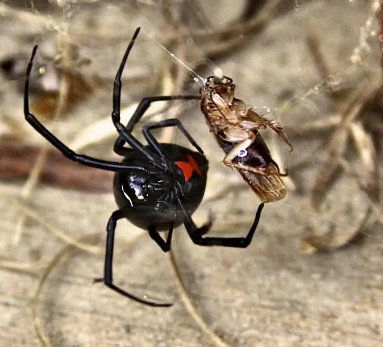 Black Widow male and female