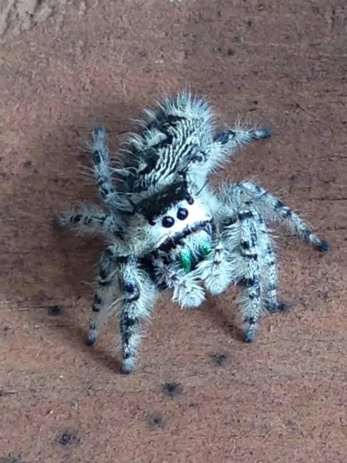 Jumping Spider blue white black