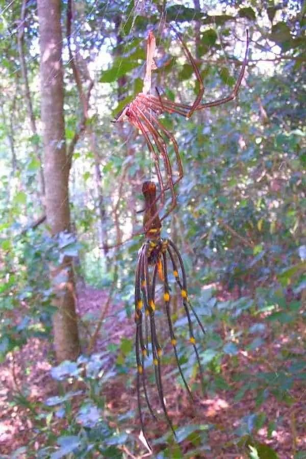 Nephila Maculata moulting