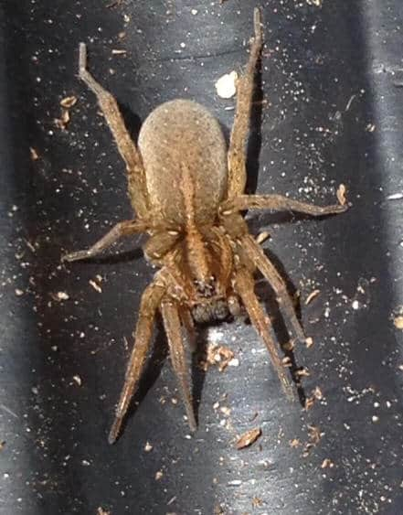 Burrowing Wolf Spider brown
