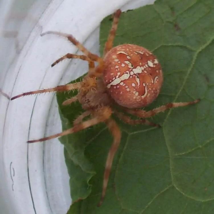Araneus Alsine-like