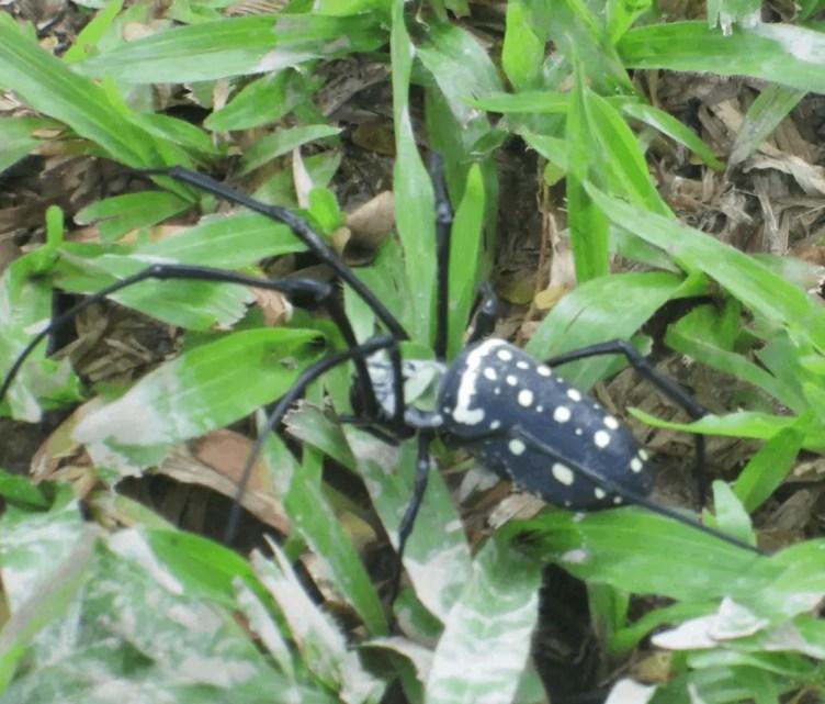 Nephila sp. Borneo. jpg