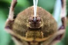 spider silk spinning organ spinneret closeup