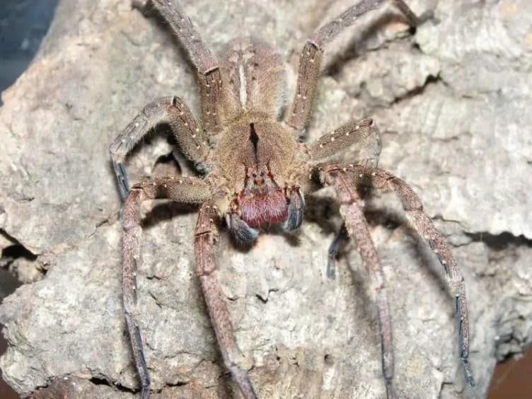 Phoneutria Nigriventer - female