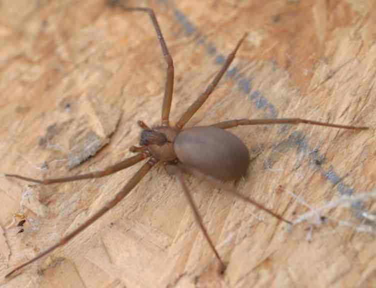 Brown Recluse
