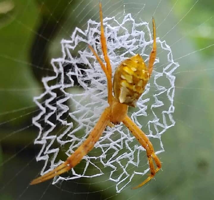 Other Argiope with beautiful web writing spider orange