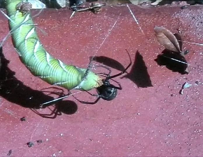 Redback Spider australia latrodectus hasselti with larvae prey