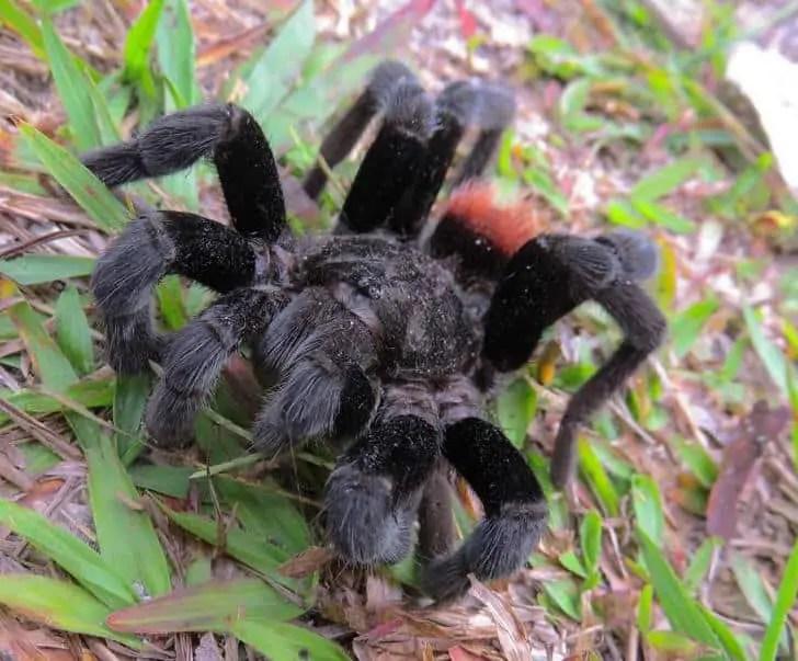 Tarantula red back