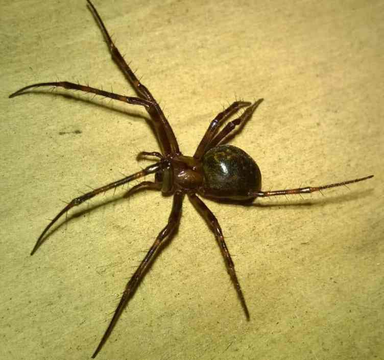Unidentified Steatoda