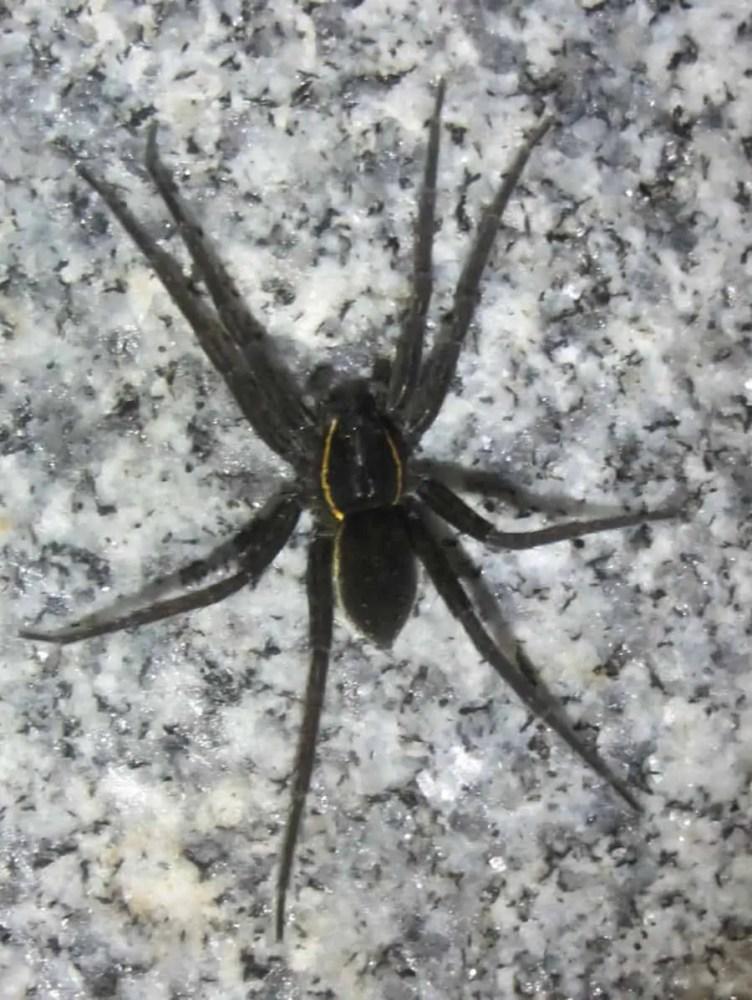 Dolomedes Vittatus Raft Spider
