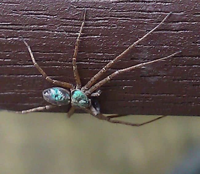 Metallic Crab Spider shiny color long brown legs iredescent spider