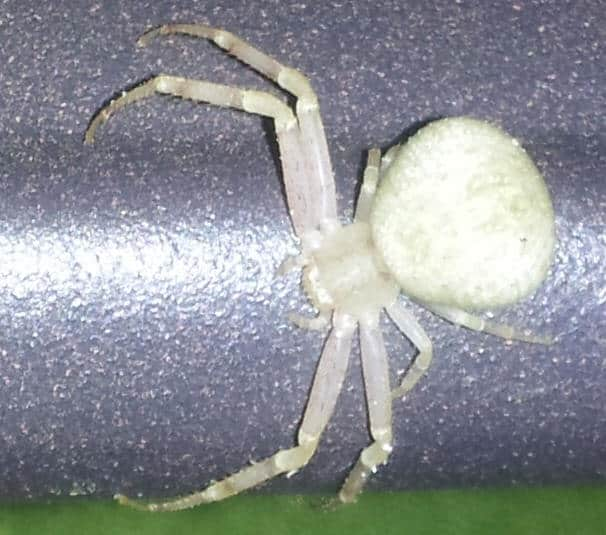 Very White Crab Spider