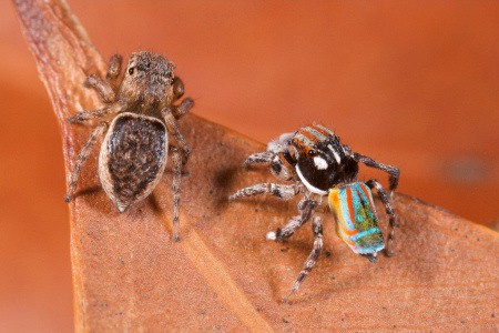 Peacock spider male and female