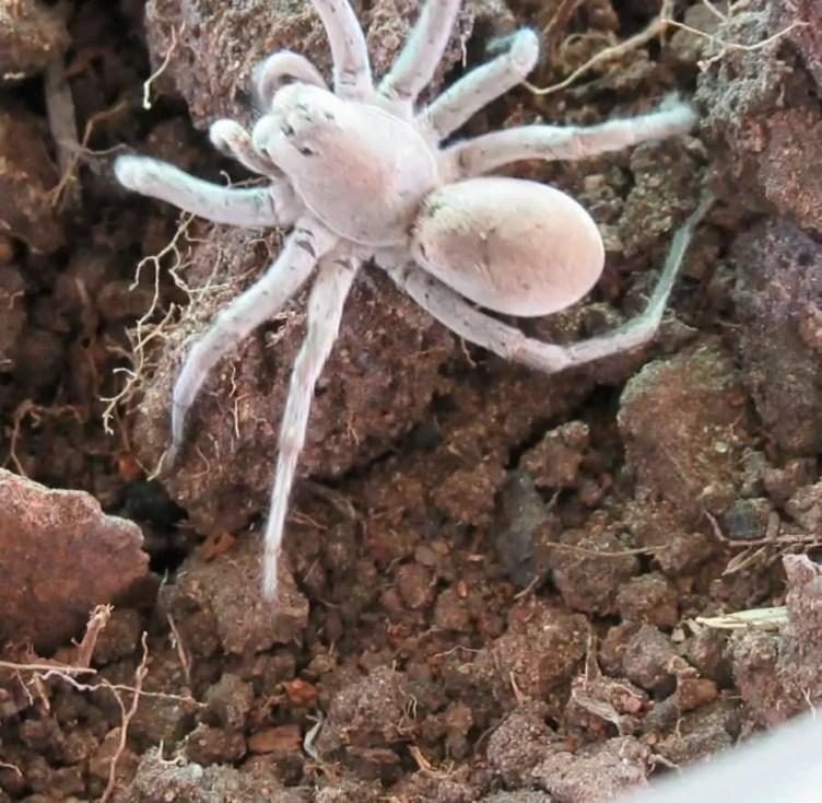 Unidentified Wolf Spider white