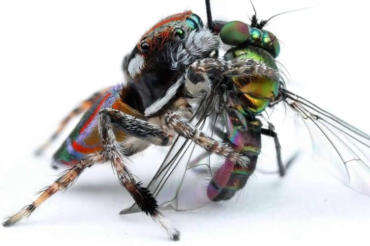 Maratus volans feeding on a fly