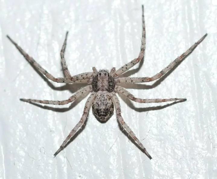 Running Crab Spider 17